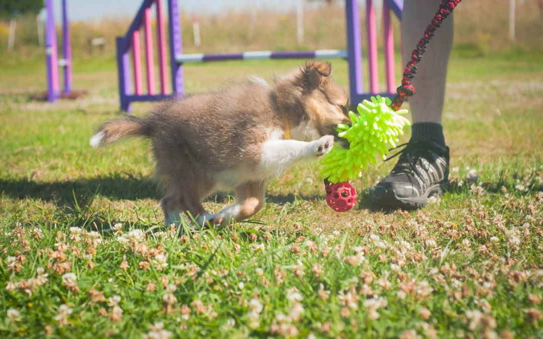 Branston (Sheltie) Nose touch and toy swaps!